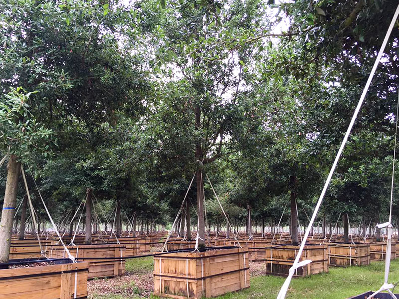 Post Oak Live Oaks Growing at Environmental Design, 23544 Coons Rd., Tomball, Texas